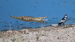 Nile crocodile thinking about eating a Blacksmith lapwing (Mark Vukovich) Tags: nile crocodile reptile blacksmith lapwing tanzania africa thinking about eating