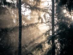 Aamuaurinko | Morning sun (Olli Tasso) Tags: aamu aurinko aamuaurinko sun sunrays forest backlight nature luonto landscape maisema outdoors ulkoilu spring nurmi suomi finland pirkanmaa birgitanpolku auringonsäteet metsä metsikkö kevät lempäälä saarikonmäki