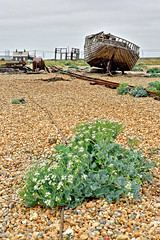 Ode to a shed (Croydon Clicker) Tags: dungeness kent boat shed railway shrub plant flower machinery winch abandonment wreck shingle stones