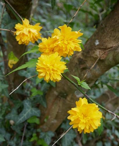 Au jardin, corète du Japon (Kerria japonica), Bosdarros, Béarn, Pyrénées Atlantiques, Aquitaine, France.