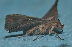 Spike Nose moth Rhesala sp ANIC 2 Catocalinae Erebidae Airlie Beach rainforest P1470162 (Steve & Alison1) Tags: spike nose moth sp erebidae airlie beach rainforest rhesala anic 2 catocalinae