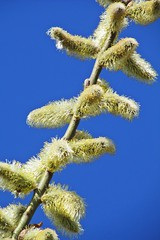 fluffy catkins :) (green_lover (I wait for your COMMENTS!)) Tags: catkins twig branch spring sky blue up diagonal cloudless