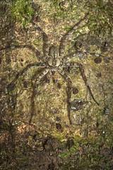 Cryptic huntsman spider (pbertner) Tags: sparassidae huntsmanspider camouflage southamerica peru perunature rainforest rainforestexpeditions treetrunk understory madrededios puertomaldonado amazon posadaamazonas nocturnal
