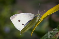 Pieris rapae ( BlezSP) Tags: canary islands macaronesian butteflies mariposas