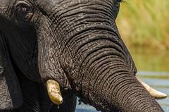 More Elephant stuff... (lyn.f) Tags: elephant trunk water waterislife choberiver pangolinphotosafaris nikon nature naturelover loxodontaafricana mammalswild africa safari