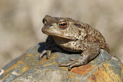 Toad on the North Yorks Moor (Bufo bufo) (Fly~catcher) Tags: bufo common toad rock north yorkshire moors moorland amphibian