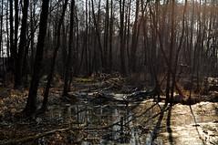 The swamp. (ALEKSANDR RYBAK) Tags: изображения болото природа вода речушка деревья солнечный свет тени отражение дымка пейзаж лес forest images swamp nature water rivulet trees solar shine shadows reflection haze landscape