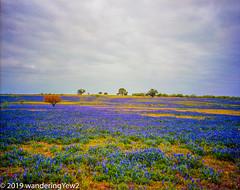 TexasWildflowers2019_film-219 (wanderingYew2 (thanks for 4M+ views!)) Tags: 120 6x7 atascosacounty mamiya mamiya7ii sandylandbluebonnet texas texaswildflowers bluebonnet film filmscan flower mediumformat wildflower