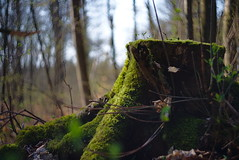 Mossy stump (iz.andre) Tags: green nature light ray backlight leaf maple forest lens old vintage copy biotar russia helios flare 44m 258 58mm prime sony alpha 7mk2 bokeh