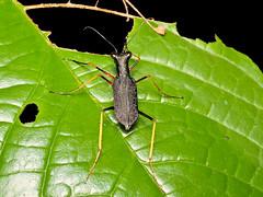 Tiger beetle, Odontocheila sp. (Eerika Schulz) Tags: tiger beetle laufkäfer käfer odontocheila ecuador puyo eerika schulz tamandua