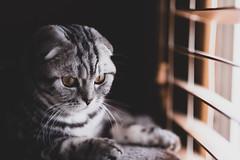Ica (n8fire) Tags: scottishfold cat fujixt3 ica fujinonxf56mmf12rapd
