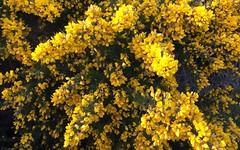 Perros-Guirec, chemins de randonnée. (claude 22) Tags: chemin randonnée perrosguirec nature fleurs flowers yellow jaune ajoncs gorse bretagne breizh brittany france 22700 côtes armor trégor bretagna bretaña