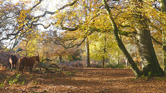 New Forest NP, Hampshire, UK (east med wanderer) Tags: england hampshire uk newforestnationalpark nationalpark lyndhurst ponies trees oak beech