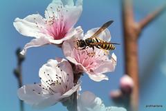 DSC_3252 a hungry wasp (profmarilena) Tags: wasponpeachflower spring macro closeup profmarilena wasp