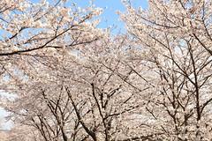Cherry (Teruhide Tomori) Tags: kyoto japan japon cherry blossom bloom spring flower sakura kamigamo kamoriver 上賀茂 賀茂川 京都 桜 春 ソメイヨシノ 日本