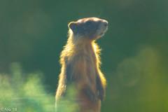 0I7A3592.jpg (Murray Foubister) Tags: 2018 summer bc kamloops mammals