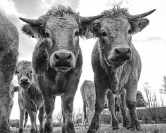Twin Cows (Drummerdelight) Tags: cow lowpov captiveanimals