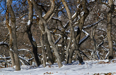 Gambel Oak (arbyreed) Tags: arbyreed trees oak gambeloak winter cold snow hills cascade cascademountain foothills wood utahcountyutah