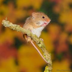 Harvest mice 2 12.01.19 (Lee Myers - aka mido2k2) Tags: green harvest mice mouse mammal small native wildlife uk countryside nature natural studio light portrait setup nikon d7100 flash strobe sigma macro 105mm cute smile happy fluffy rodent