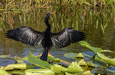 Anhinga Male (Mike_FL) Tags: anhingamale wakodahatcheewetlands nikon nikond7500 nature floridawildlife outdor bird image photograph