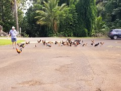 Chickens at Kukuiolono 3 (jtbradford) Tags: kauai hawaii