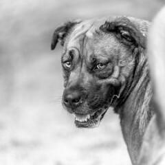 Skye18Jan201992-Edit.jpg (fredstrobel) Tags: dogs pawsatanta phototype atlanta blackandwhite usa animals ga pets places pawsdogs decatur georgia unitedstatesofamerica us