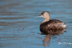 Least Grebe (Let there be light (A.J. McCullough)) Tags: texas texasbirds southtexas grebe leastgrebe birds esterollanogrande featheryfriday
