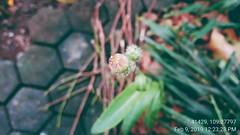 4th Step Bunga Tempuyung / Sonchus Arvensis Flower (setiawanap) Tags: indonesia setiawanap setiawanapvlog tanaman tumbuhan daun bunga batang plants tree leaf flower tempuyung sonchusarvensis sonchus arvensis