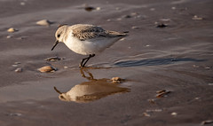 Sanderling (Steve Samosa Photography) Tags: sanderling bird wader beach wildlife crosby coastline coast nature