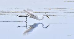 Great Egret (jt893x) Tags: 150600mm ardeaalba bird d500 egret greategret heron jt893x nikon nikond500 reflection sigma sigma150600mmf563dgoshsms thesunshinegroup alittlebeauty coth coth5
