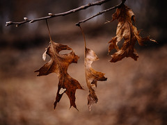 The last of us (Garen M.) Tags: lumixleicadgelmarit45mmf28macro olympuspenf valleforge winter zuikopro714mmf28 baretrees hiking leaves macro tree