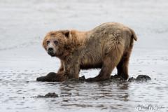_HB32274 (Hilary Bralove) Tags: lakeclarknationalparkbrownbearsbearsalaskanikonwildlifegrizzlygrizzlybearbrownbearanimalswildlifephotographer alaksa brownbears grizzlybears bear bears grizzly brownbeargrizzly bearlake clarkwildlifealaska wildlifenikonlake clark national park