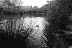 "Lago de Anna - XT-2BN  ........................  In Explore (VALOR-BN1OOO) Tags: campo jardín arboles paisaje valorbn monocromo blanco y negro"" tonal mono noire chroma sombras bw blackwhite photos blanconegro photodgv"