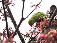 Sakura and not Japanese White Eye but Parrot (bluehazyjunem) Tags: parrot kawazuzakura bird flower macro tree