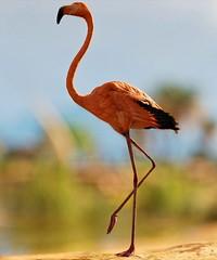 Flamingo. (SandyJ-Black) Tags:
