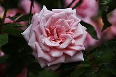 Rose (Hugo von Schreck) Tags: hugovonschreck rose flower blume blüte macro makro canoneos5dsr tamron28300mmf3563divcpzda010