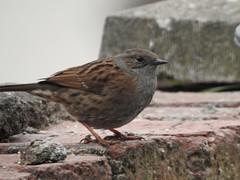 Dunnock (Simply Sharon !) Tags: dunnock bird gardenbird wildlife britishwildlife inthegarden gardenvisitor nature march