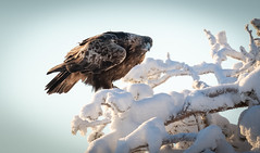 Visionary (MrBlackSun) Tags: golden eagle frozen forest finland lapland nikon d850 kuusamo kuusamonaturephotography nature naturephotography arctic winter bird birdlovers birdlover