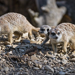 Three meerkats thumbnail