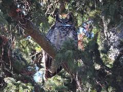 Great Horned Owl. (robbrach013) Tags: bird owl greathornedowl