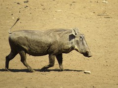 Wart-hog / Vlakvark (Pixi2011) Tags: wildlife krugernationalpark southafrica africa animals nature