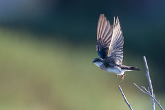 Swallow Take Off (Patricia Ware) Tags: birdsinflight california canon ef400mmf4doisiiusmlens handheld irvine sanjoaquinmarsh tachycinetabicolor treeswallow ©2019patriciawareallrightsreserved unitedstatesofamerica us specanimal