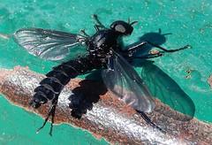 Fly - Bibionidae,  Bibio sp. (male) (John Steedman) Tags: shimla india भारत インド 印度 himachalpradesh insect fly mosca mouche fliege bibio male bibionidae