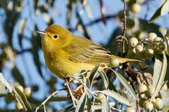 Yellow Warbler (Gf220warbler) Tags: idaho warbler passerine songbird parulidae