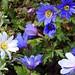 Frühlingstanz der Anemonen