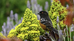 Spotted Towhee (Bob Gunderson) Tags: alamedacounty birds california eastbay northerncalifornia pipilomaculatus spottedtowhee towhees