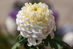 Chrysanthemum (yc4646) Tags: asteraceae chrysanthemum magnoliophyta magnoliopsida angiospermes dicots dicotylédones floweringplants phanérogames plantesàfleurs plantesàfruits plants sunflowers hangzhou zhejiang china