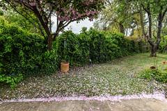 04-Pétales de cerisier fleurs (Alain COSTE) Tags: maison nikon pessac sigma20mmf14 fleur herbe jardin pétales gironde france fr