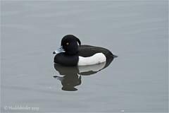 Tufted Duck (Huddsbirder) Tags: huddsbirder fairburnings rspb tuftedduck sony a6500 fe70300mm