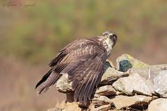 Protettiva (Simone Mazzoccoli) Tags: buzzard buteobuteo outdoor birdofprey bird birdwatching animals nature light colors background